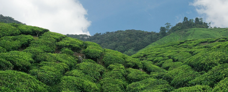 Čajové plantáže B.O.H., Cameron Highlands, Malajsie